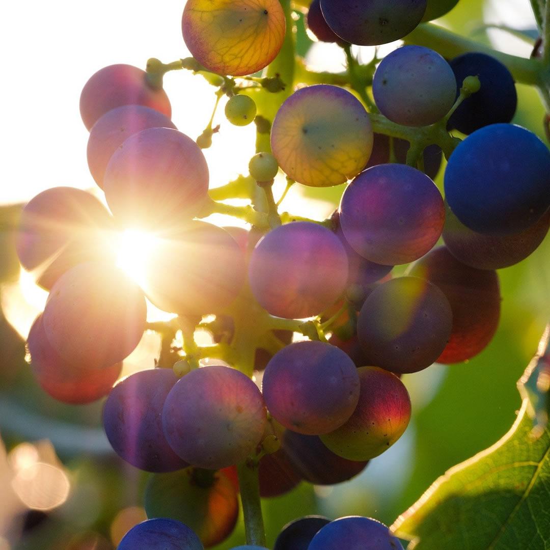 Sezóna hrozna sa blíži! Využite tieto tipy zo slovenských vinohradov