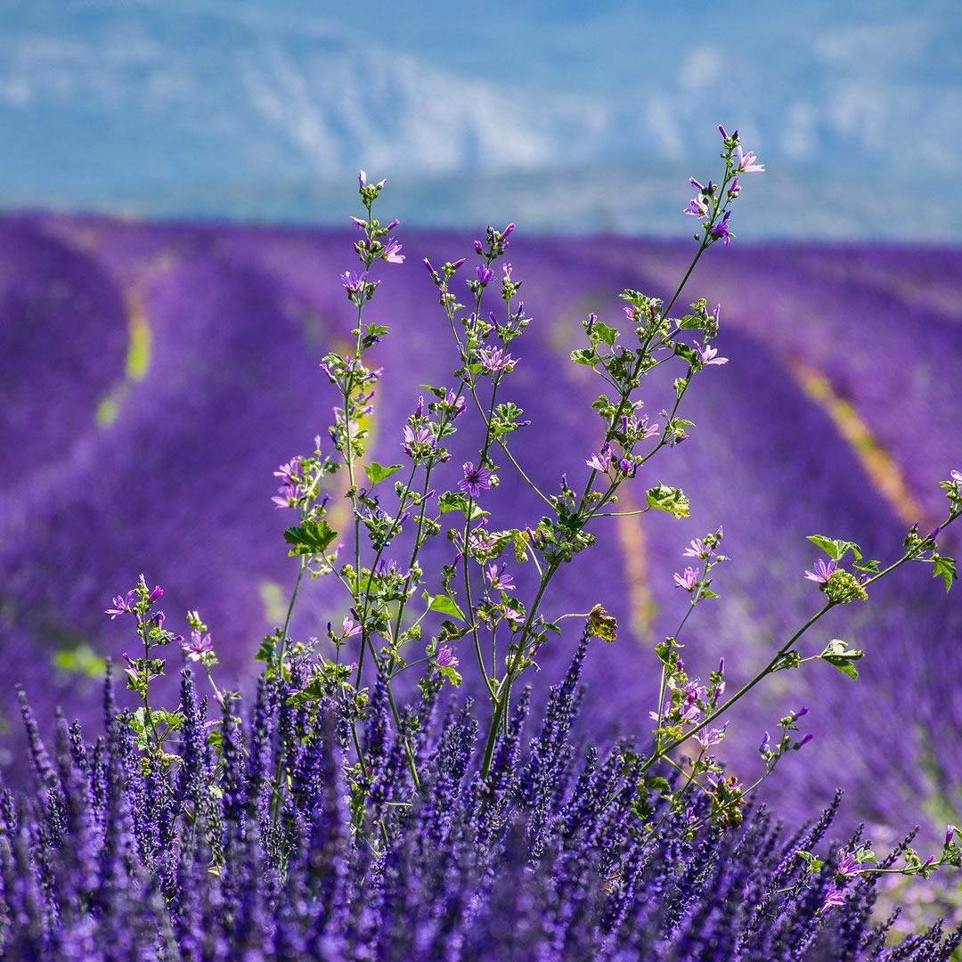 Tip pre milovníkov krásnych kvetín! Jedinečná akcia na levanduľových poliach